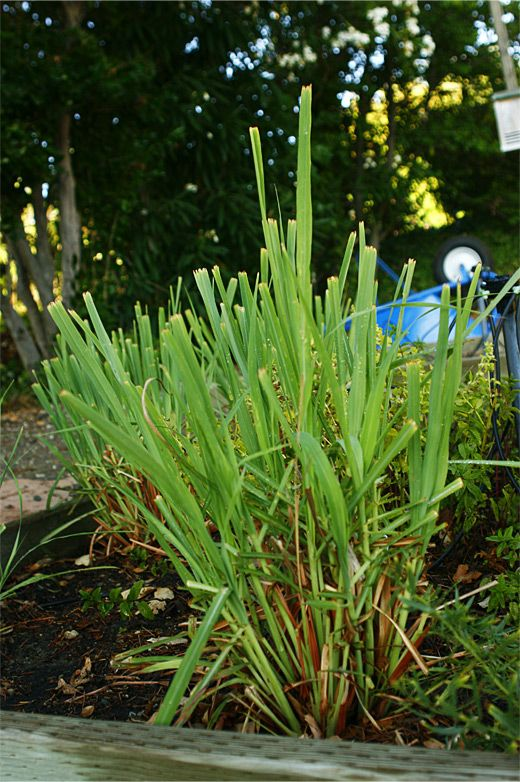 Fresh lemongrass picture