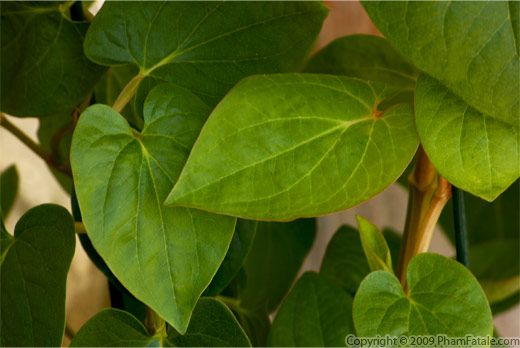 Edible Betel leaves Picture