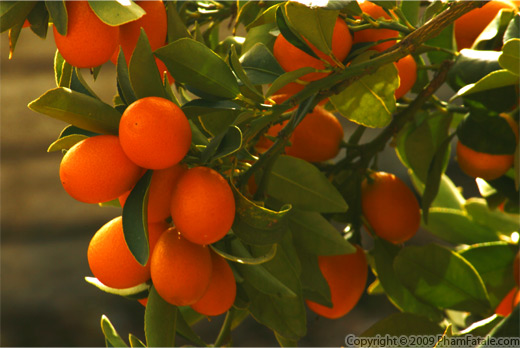 Kumquat Recipe with Picture